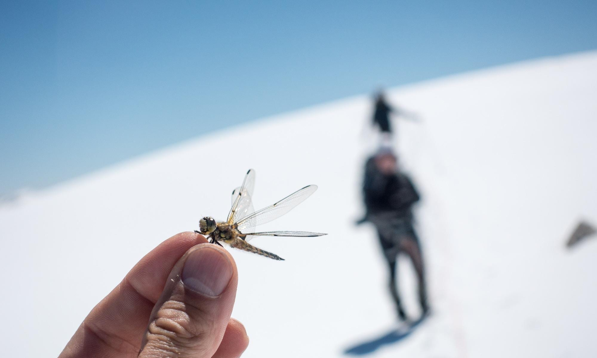 Dragonfly on the Wapta